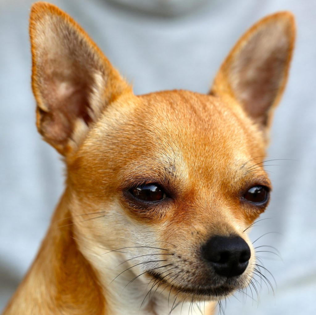 chihuahua-453063 raleigh pet sitters