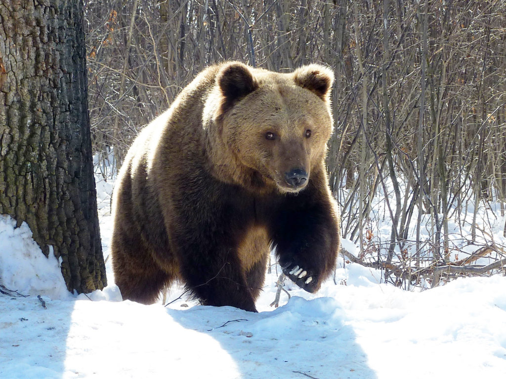 World Animal Protection-Rescued bear