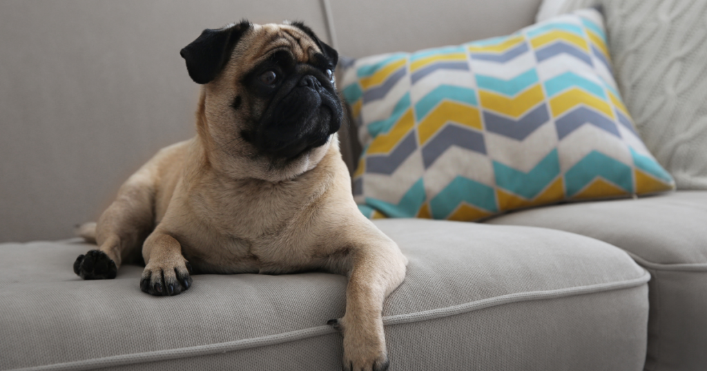 Picture of dog sitting on a sofa